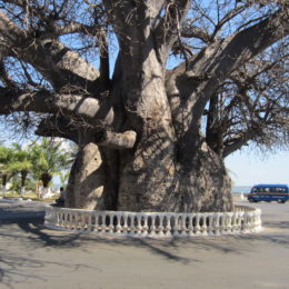 baobab de Majunga