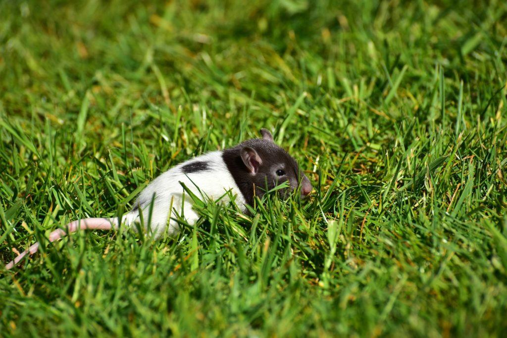 présence de rat