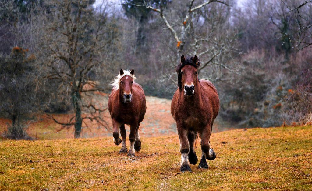 chevaux de traie