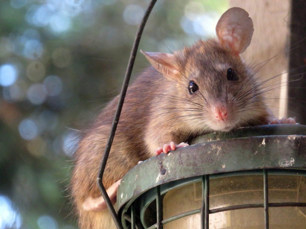 L'efficacité des ultrasons sur les rats